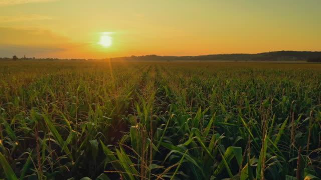 aerial field of corn at sunset - kukurydza zea filmów i materiałów b-roll