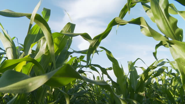 HD CRANE: Field Of Corn video