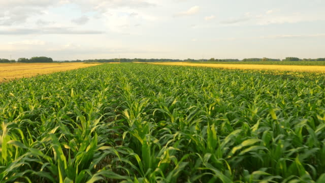 AERIAL Field of corn video