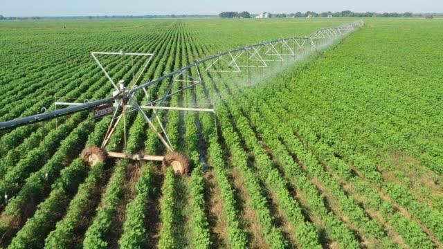 fält av bomull och ett centre pivot bevattningssystem, burleson county, texas, usa - cotton growing bildbanksvideor och videomaterial från bakom kulisserna