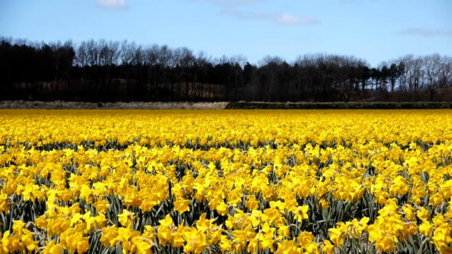 Field of daffodil flowers video