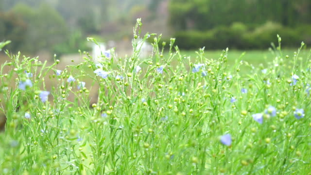 Field of Daisies and Meadow on the rainy day in the morning video