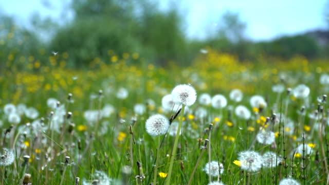 vídeos de stock e filmes b-roll de field of dandelions in a meadow - flower white background
