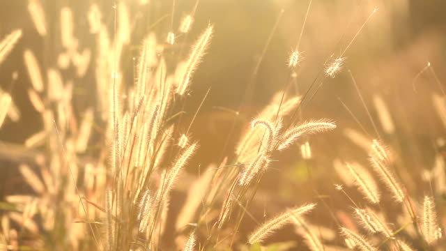 field of feather grass at sunlight video