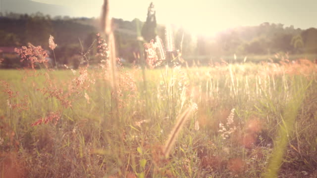 field of feather grass at sunset vintage color. video