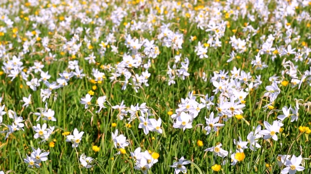 Field of flowering daffodils and buttercups. Beautiful floral landscape video