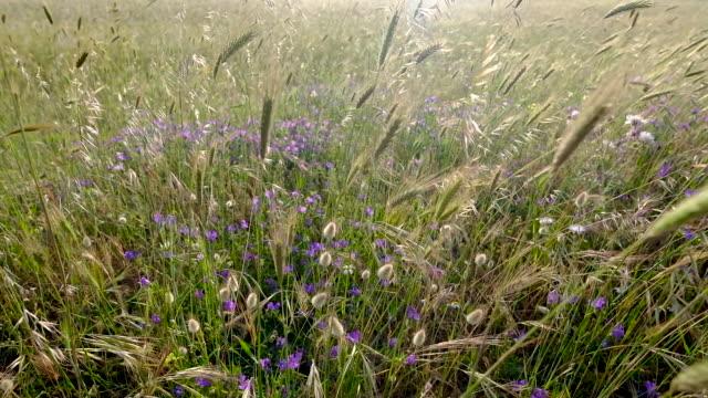 field of flowers, sardinia, italy - sardegna video stock e b–roll