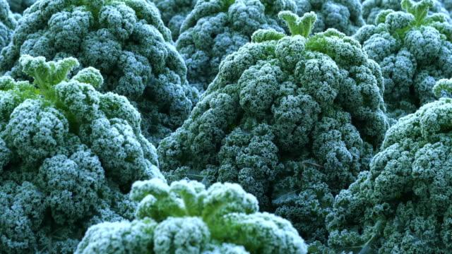 field of frosted kale,  extends the taste. horizontal slider shot - data scritta video stock e b–roll