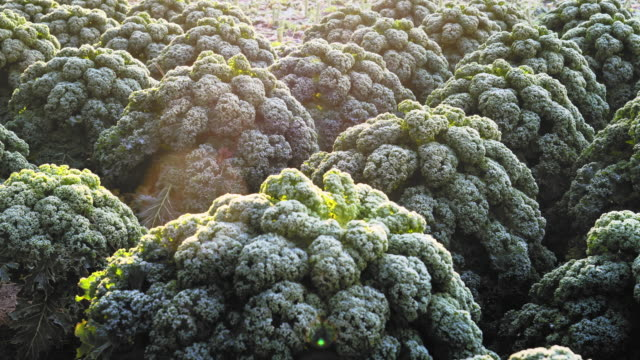 feld von frosted kale, erweitert den geschmack. - grünkohl stock-videos und b-roll-filmmaterial