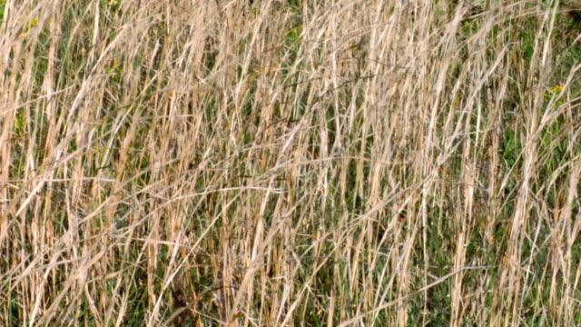 field of gold - wider - kahverengi stok videoları ve detay görüntü çekimi
