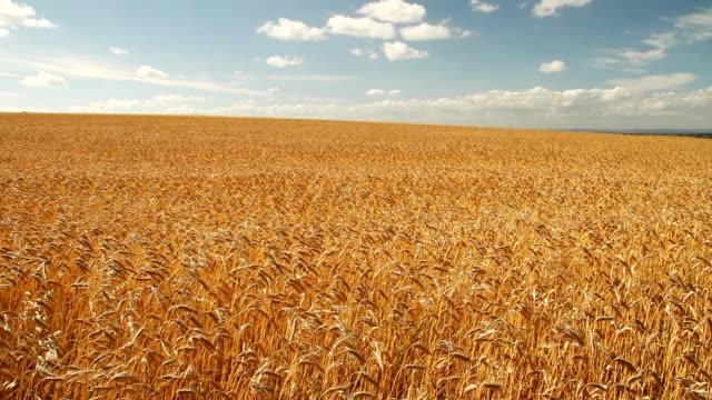 フィールドにゴールドの大麦でおくつろぎください。 - 大麦点の映像素材/bロール