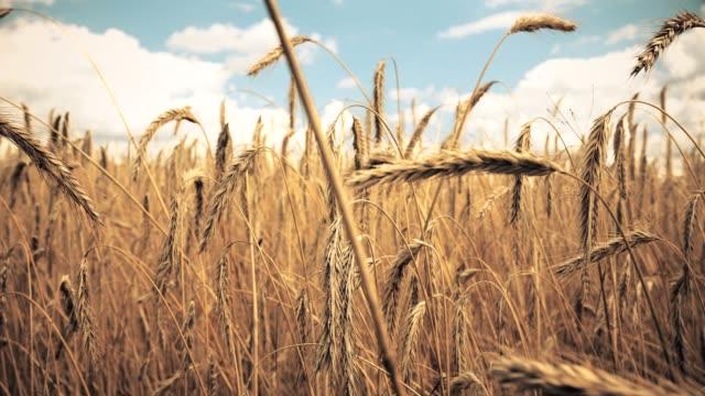 alan altın olgun buğday hasat için hazır. yaz. güneşli bir gün. panorama. - çavdar stok videoları ve detay görüntü çekimi