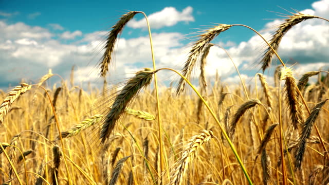 field of golden ripe wheat ready to be harvested . summer. sunny day. - paglia video stock e b–roll