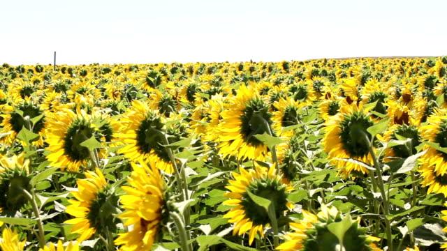 Field Of Golden Sunflowers video