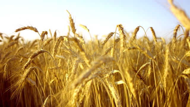 Field Of Golden Wheat HD1080p: Super Slow Motion shot of moving through a field of wheat. Camera Stabilization Shot rye grain stock videos & royalty-free footage