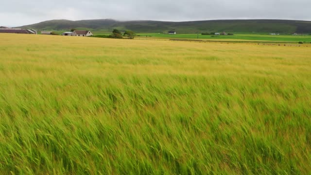 field of grain plants moving under strong winds - grass isolated video stock e b–roll