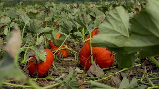 field of large orange pumpkins - zucca legenaria video stock e b–roll