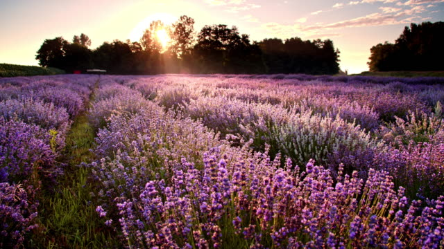 ds campo di lavanda al crepuscolo - fiori video stock e b–roll
