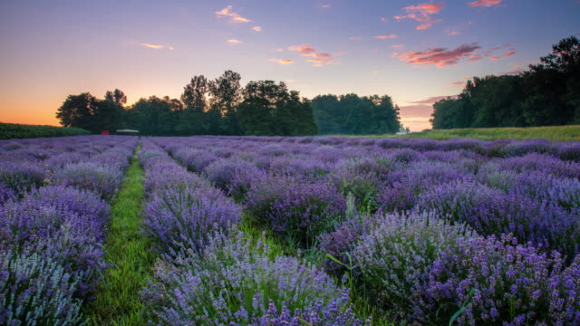 T/L 8K Field of lavender at sunrise Time lapse wide angle shot of a cloudscape over a field of colorful lavender flowers at sunrise. Also available in 8K resolution. lavender plant stock videos & royalty-free footage