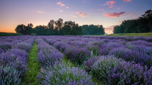 vídeos de stock e filmes b-roll de t/l 8k field of lavender at sunrise - lavanda planta