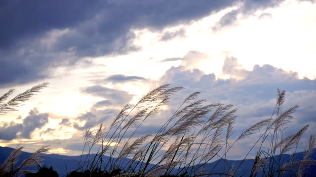 Field of long grass sway in the breeze with cloudy in evening video