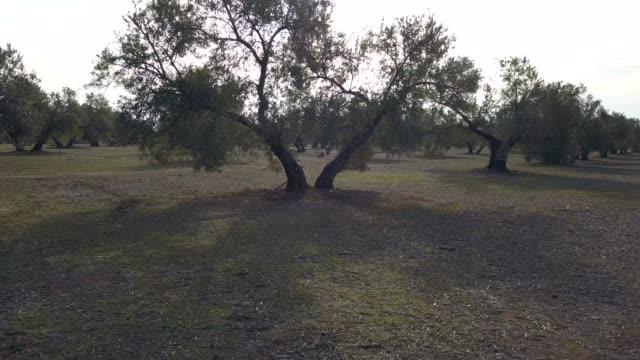 vidéos et rushes de champ d'oliviers près de jaen, mouvement de la caméra souple en 4k - olivier