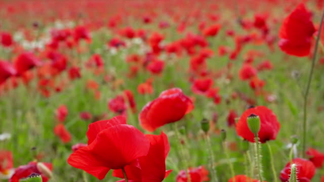 Field of poppies flower video