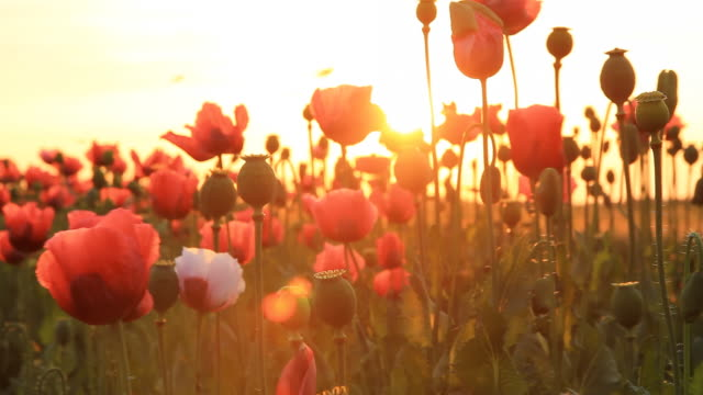 HD DOLLY: Field Of Poppy At Sunset video