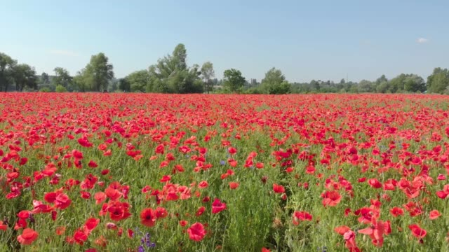 field of poppy flower - gardino video stock e b–roll