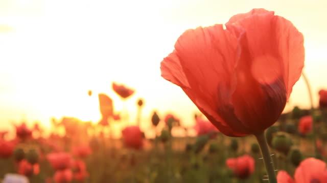 hd: feld von poppy - einzelne blume stock-videos und b-roll-filmmaterial