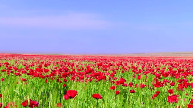 Field of poppys video
