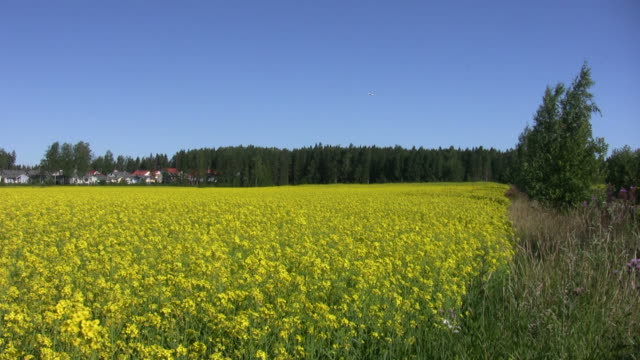 Field of rapeseed plants 1 video