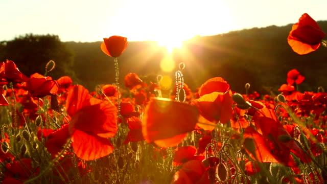 vídeos y material grabado en eventos de stock de field of red poppies al atardecer - amapola planta