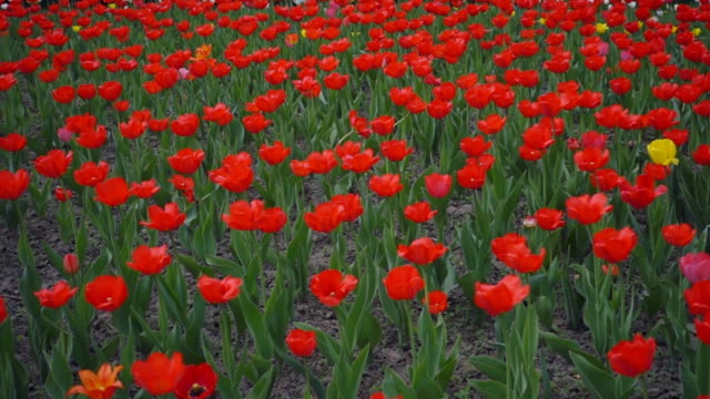 Field of red tulips. Shot in motion video