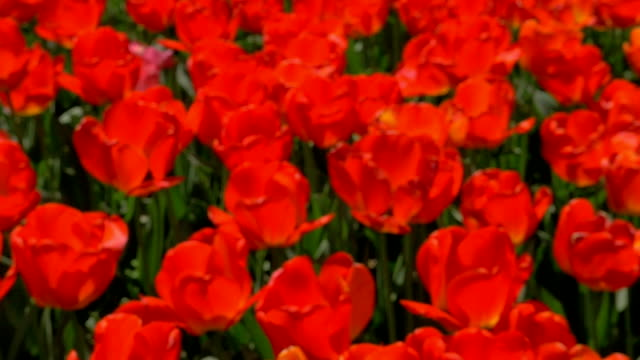 Field of red tulips video