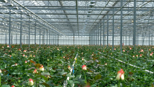 A field of roses with unopened buds under the greenhouse roof. video