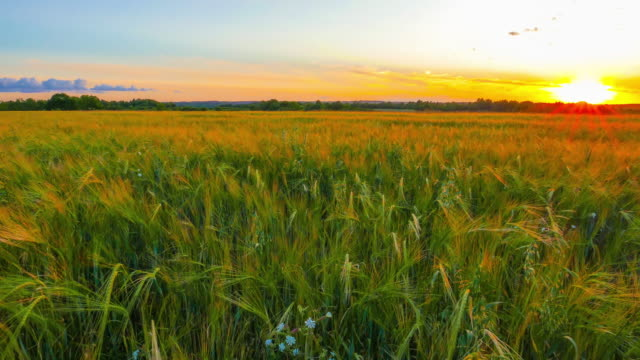 Field of rye in the sunset