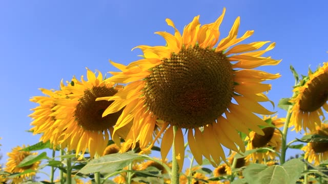 field of Sunflower on blue sky ,close-up video