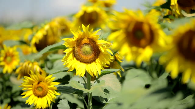Field Of Sunflowers Moving On Wind video