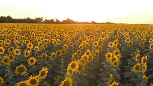 Field of sunflowers on sunset