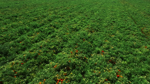 Field of tomato bushes. Aerial view. Agricultural background video