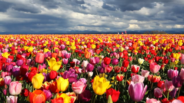 HD field of tulips in Spring
