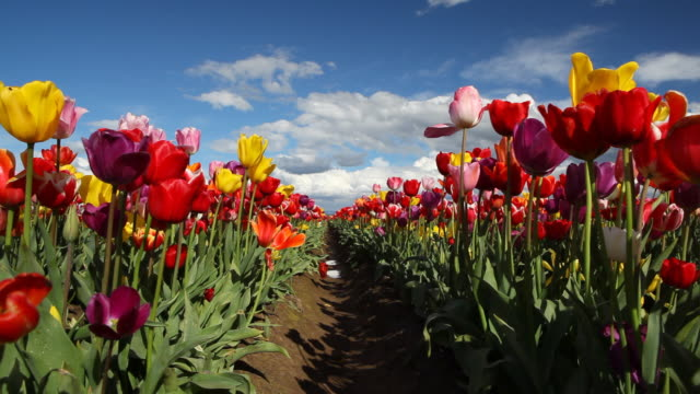 HD field of tulips in Spring video
