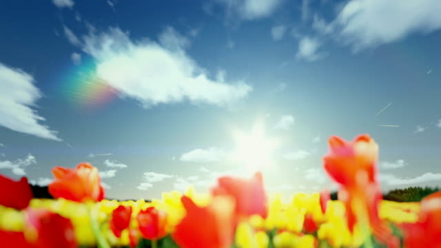 Field of Tulips, timelapse sunrise to afternoon, flight over video