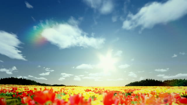 Field of Tulips, timelapse sunrise to afternoon video
