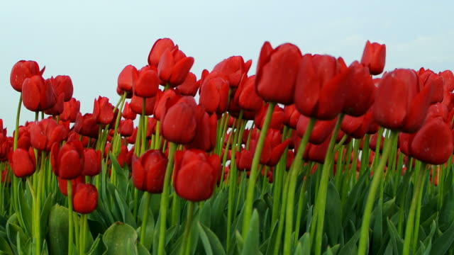 Field of Tulips video