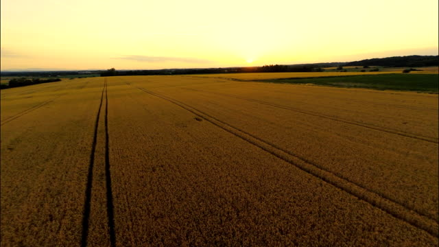 AERIAL Field Of Wheat At Sunset HD1080p: AERIAL shot of fields of golden wheat in the late afternoon sun. Camera moving up for a view across the countryside. monoculture stock videos & royalty-free footage