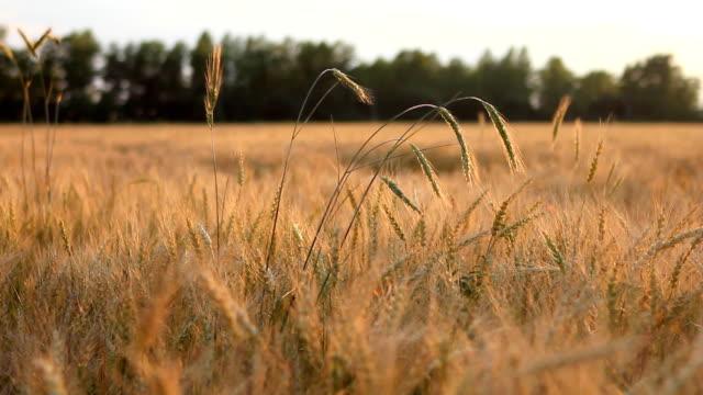Field of wheat on breeze panning video