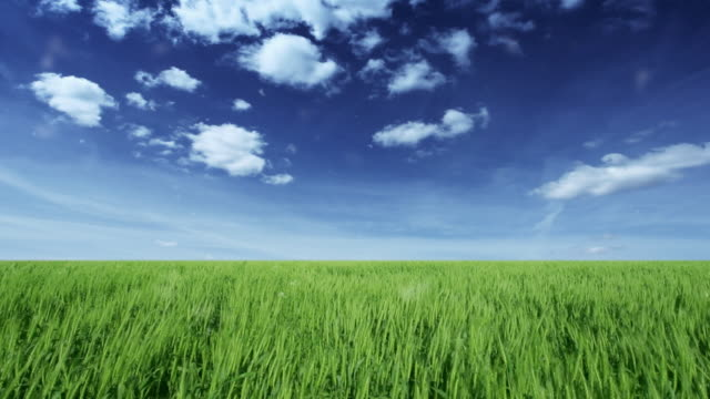 Field of wheat over blue moody sky  grass area stock videos & royalty-free footage