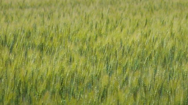 field of wheat - równina filmów i materiałów b-roll
